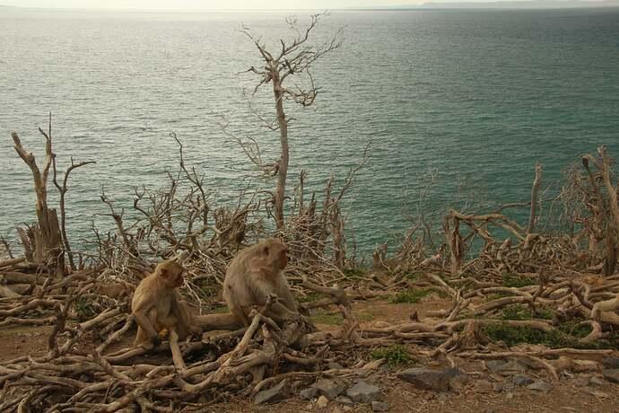 Macaques on Cayo Santiago Puerto Rico